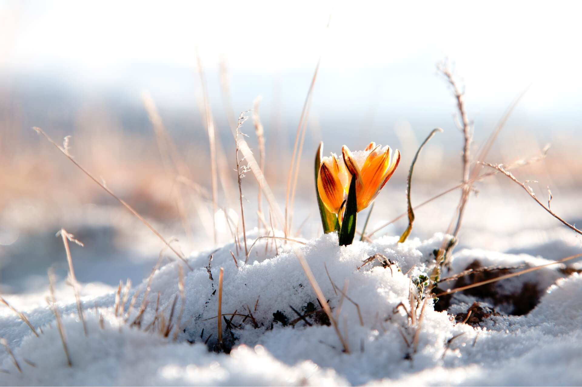a single flower poking through a layer of melting snow